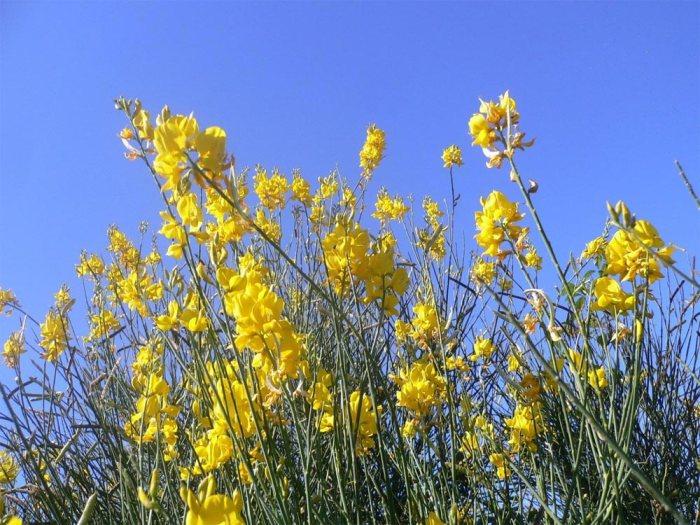 flores-giestas